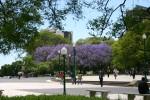 More jacaranda, in Plaza San Martin!
